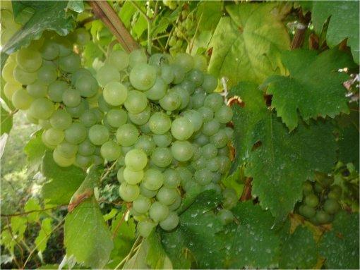 Dr. Horváth György kiváló ismerője a szőlőtermesztésnek.